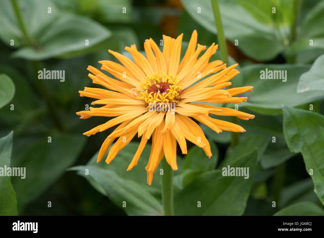 Zinnia hybrida. Zinnia 'Early wonder mixed' flowers - Stock Image