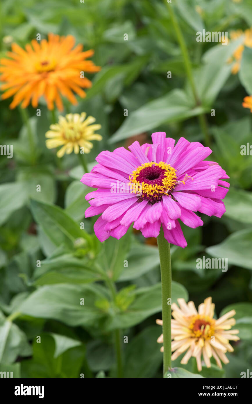 Zinnia hybrida. Zinnia elegans 'Giant double mixed' flowers - Stock Image
