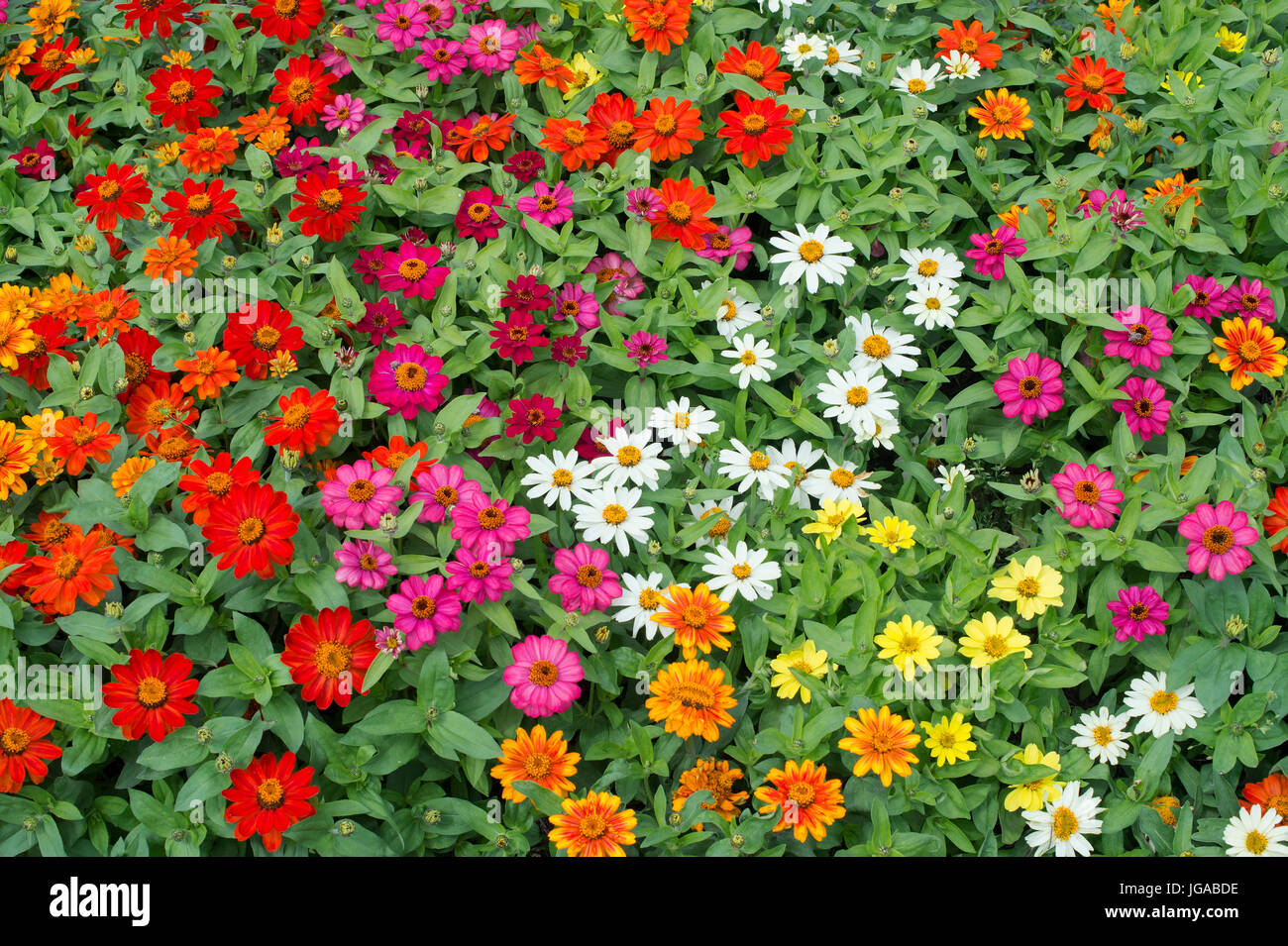 Zinnia hybrida. Zinnia Marylandica 'Zahara mixed' flowers - Stock Image