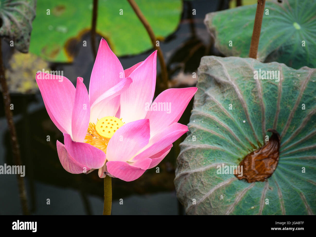 A lotus flower blooming at sunrise in bali indonesia lotus flowers a lotus flower blooming at sunrise in bali indonesia lotus flowers enjoy warm sunlight and are intolerant to cold weather mightylinksfo