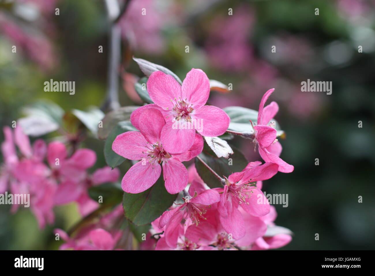 Himalayan Balsam (Impatiens Glandulifera) Flowers, UK Stock Photo