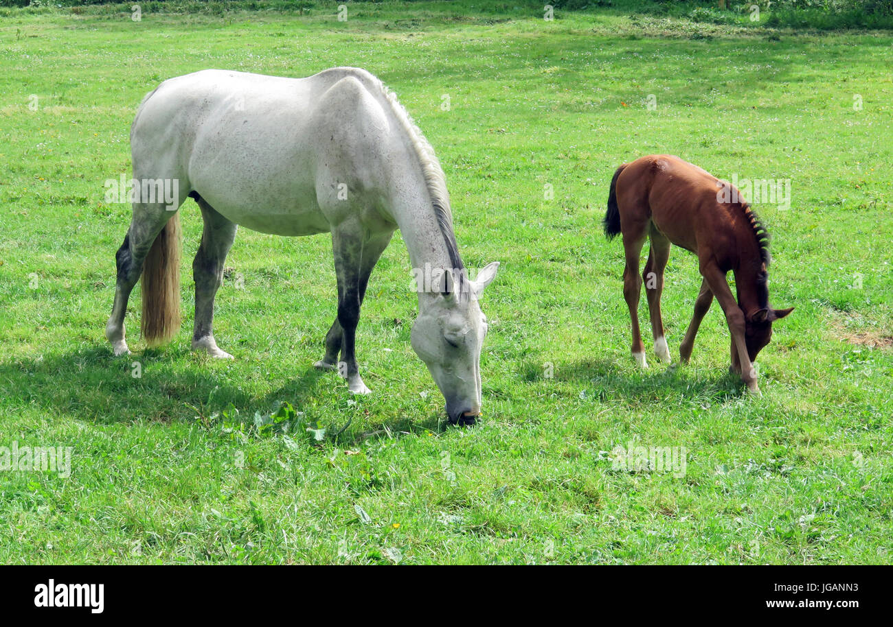 Horses, Horse and Foal, Mare - Stock Image