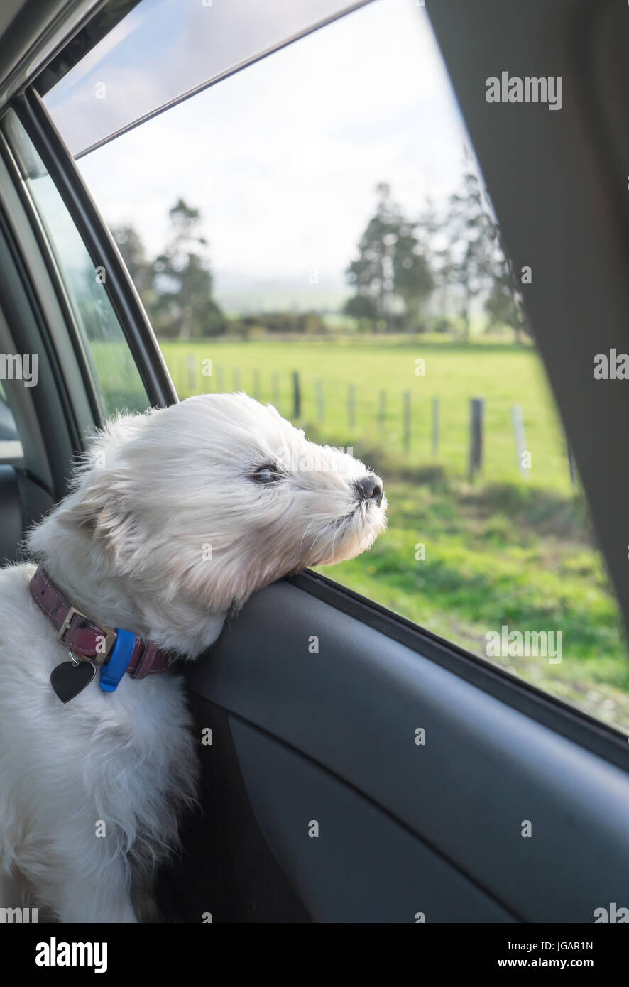 West highland terrier westie dog with head out of car window and wind in face, with rural scenery in New Zealand, - Stock Image