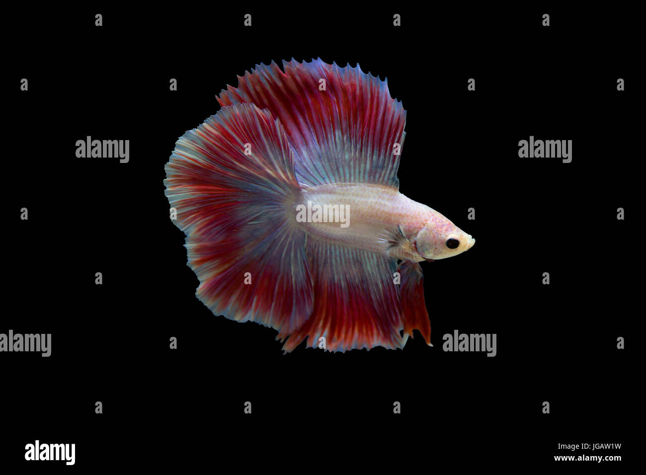Siamese fighting fish in black background - Stock Image