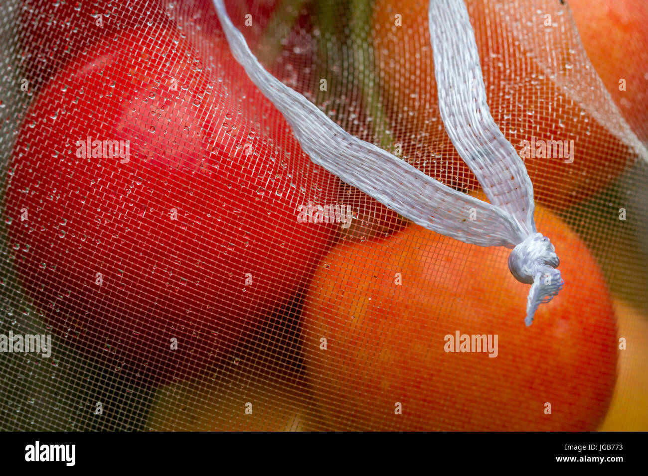 Cherries ripening safely behind organza wedding favour bags for protection against birds and bugs, Yorkshire, England, - Stock Image