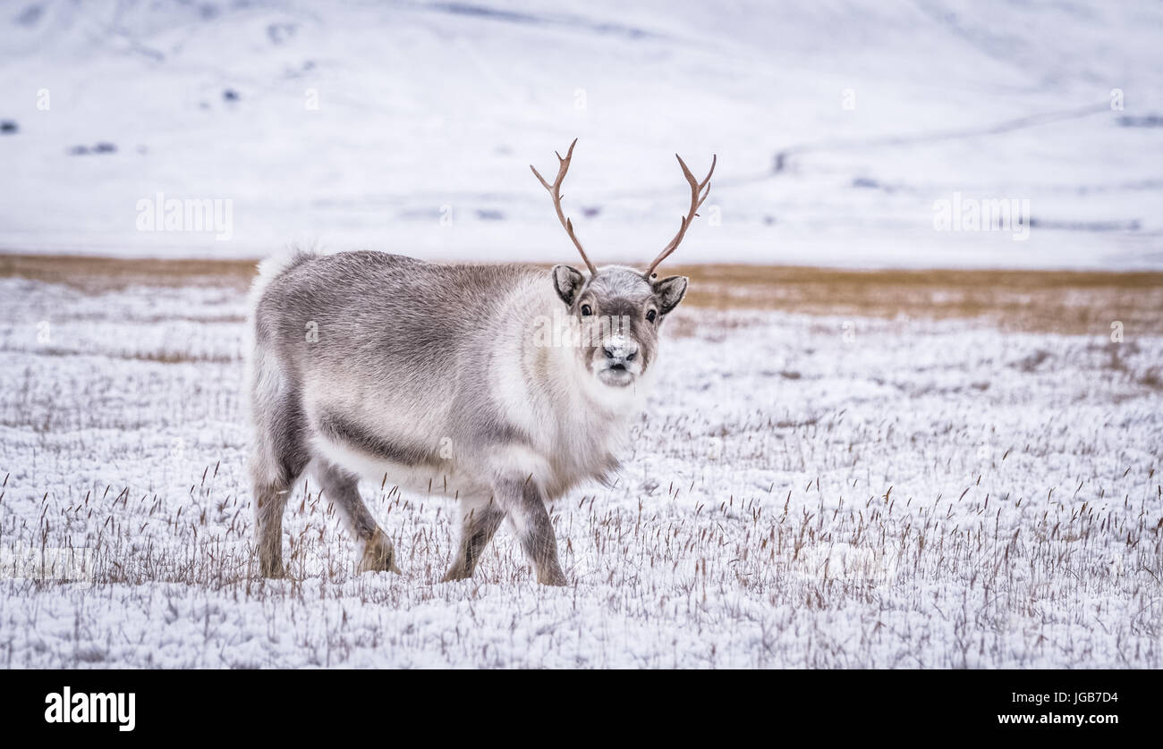 Walking with some arctic reindeer looking for grass to eat during the cold winter on Svalbard. - Stock Image