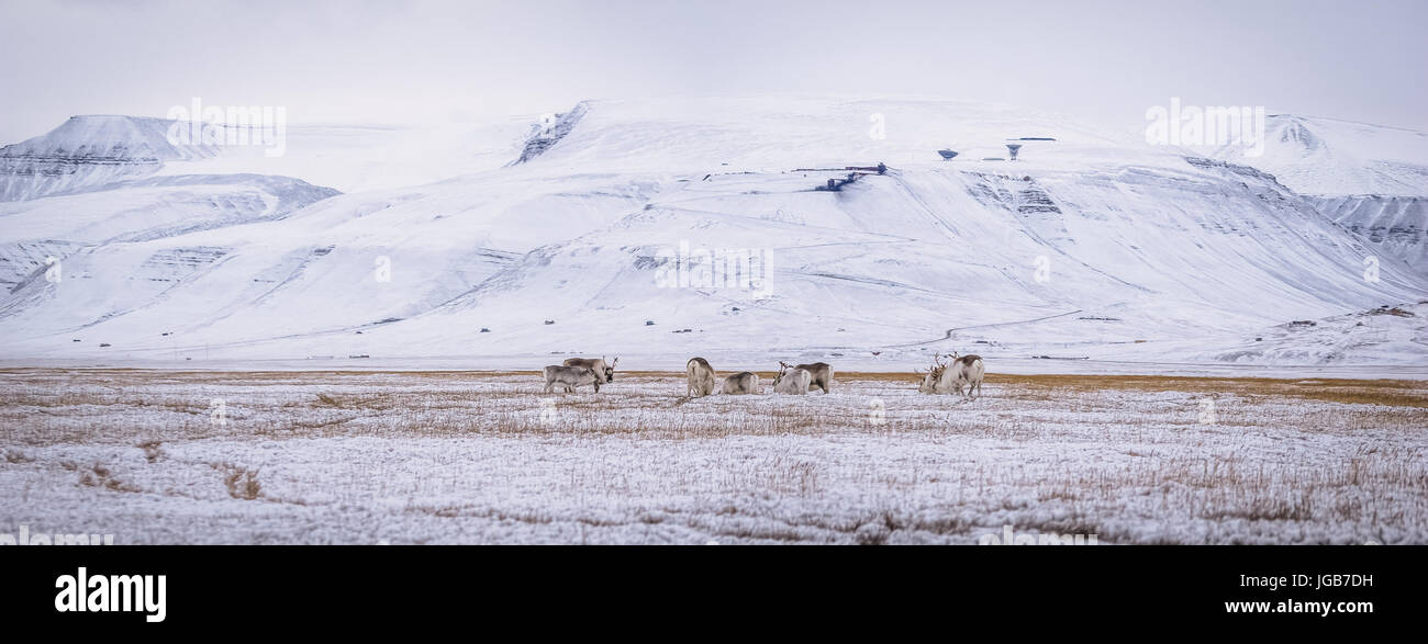 Some arctic reindeer, Svalbardrein, grassing on the Tundra. A baby can be seen to the left. - Stock Image