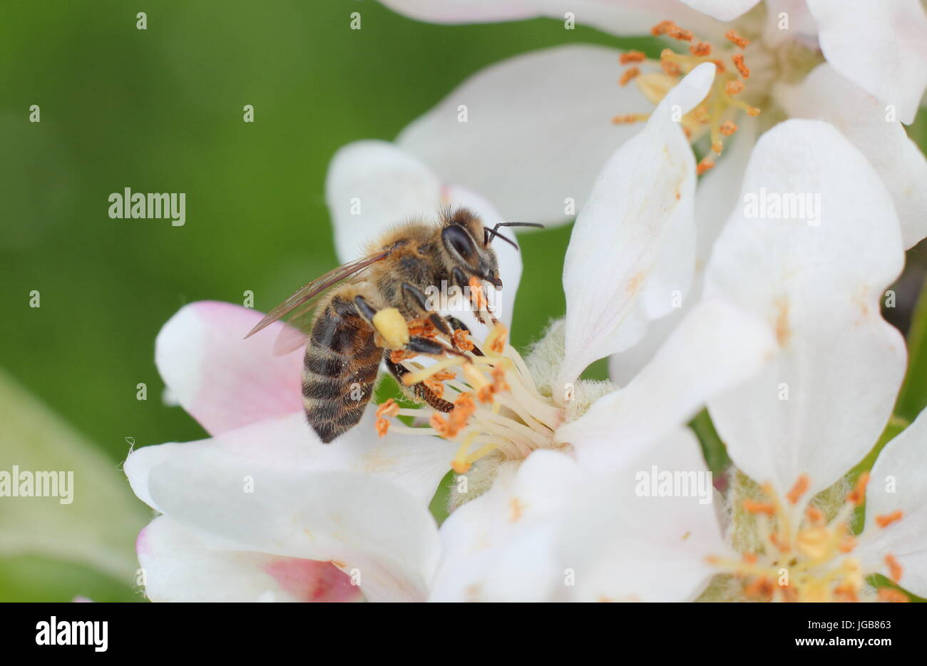Honey bee (apis mellifera) collecting nectar from the spring blossom of malus domestica 'Katy', apple tree - Stock Image