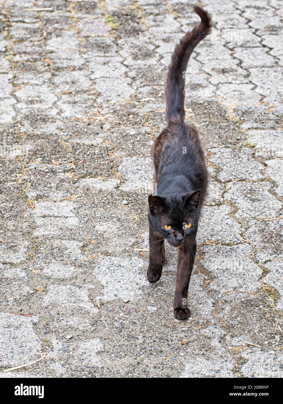 Cat. Advancing towards camera. Stock Photo