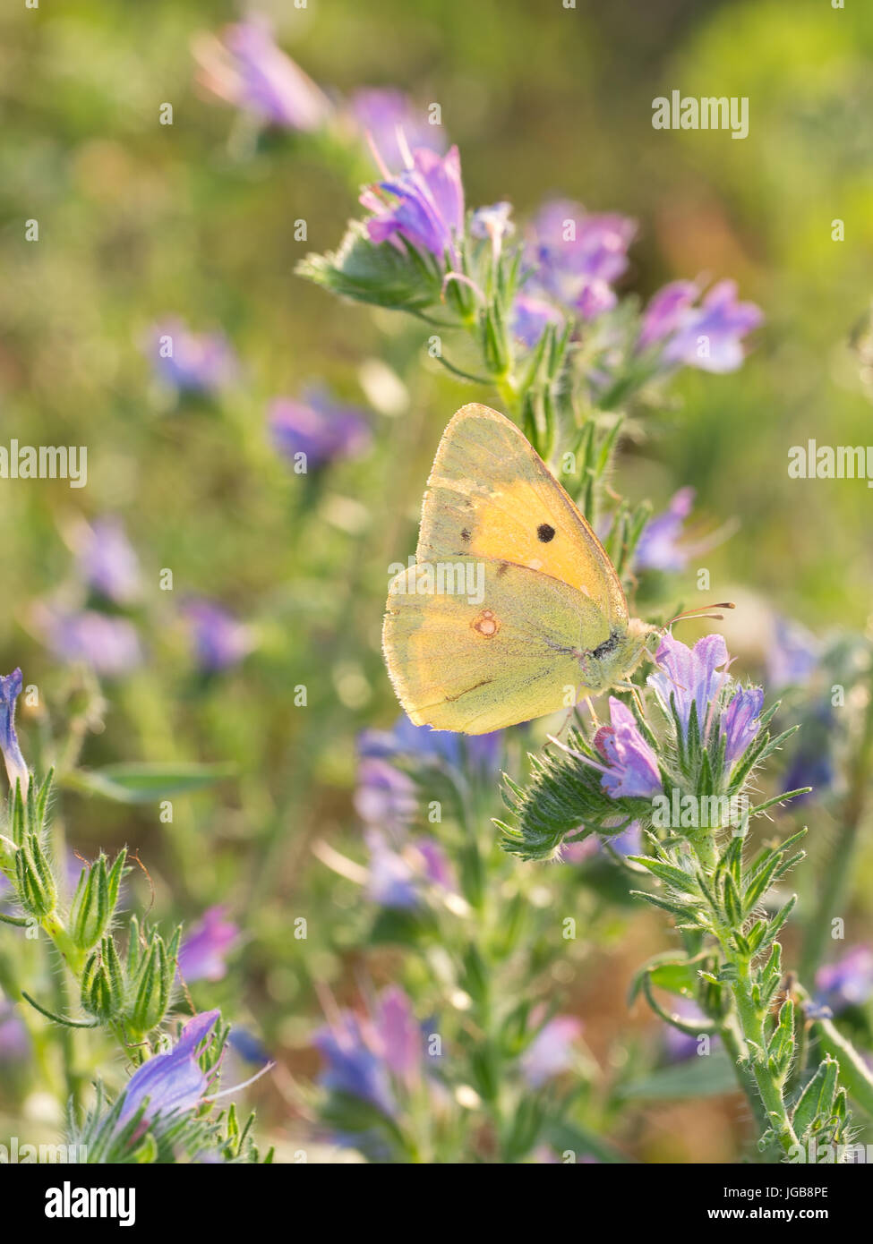 Clouded yellow butterfly on Echium vulgare - Viper's bugloss flower. - Stock Image