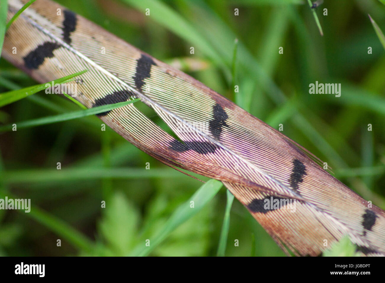 pheasant feather - Stock Image