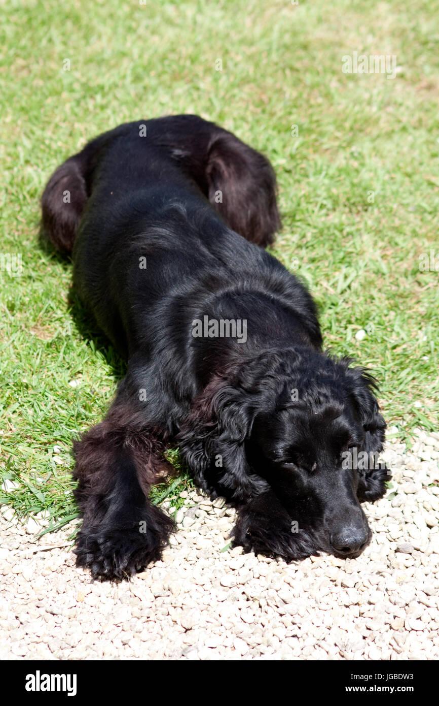 cocker spaniel layed down - Stock Image
