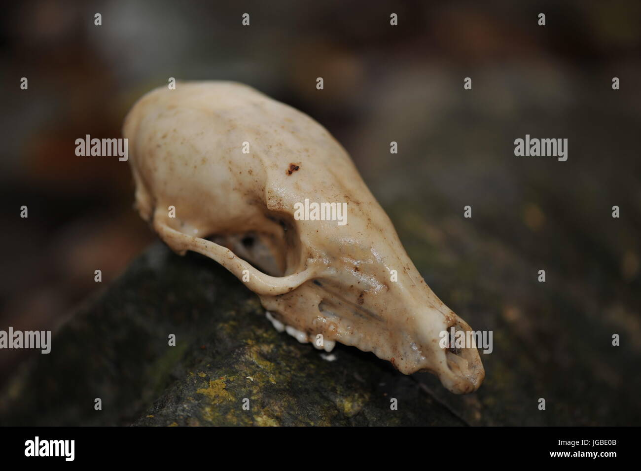 Small animal skull displayed on stone boulder in jungle costa rica Stock Photo