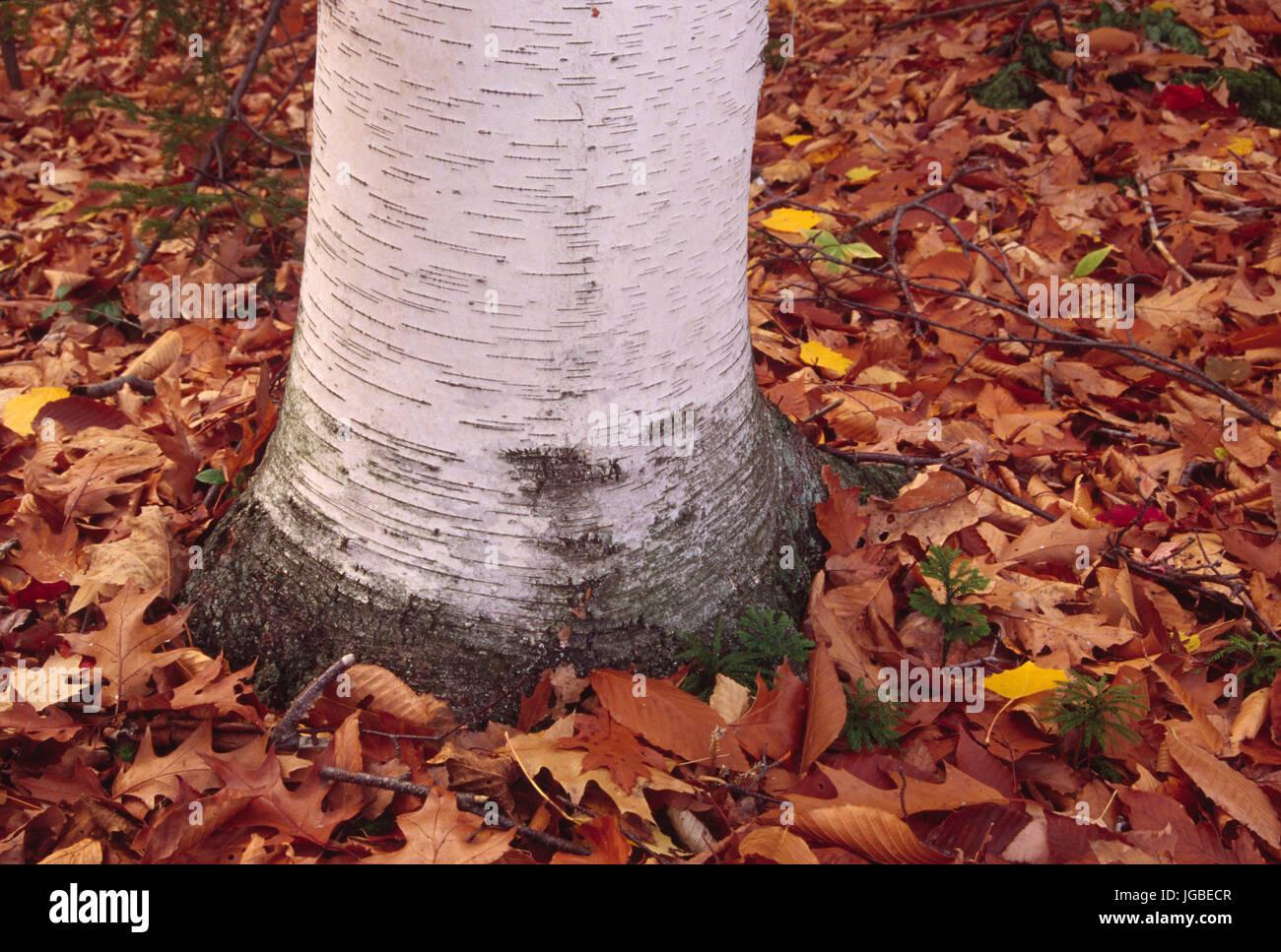 Birch trunk, Grafton Lakes State Park, New York - Stock Image