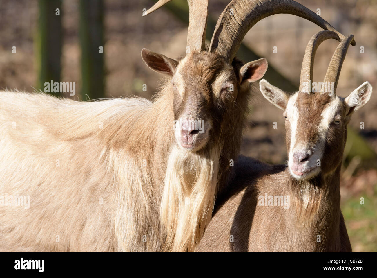 Color outdoor portrait of couple of two goats watching in the same direction, taken in bright sunshine - Stock Image