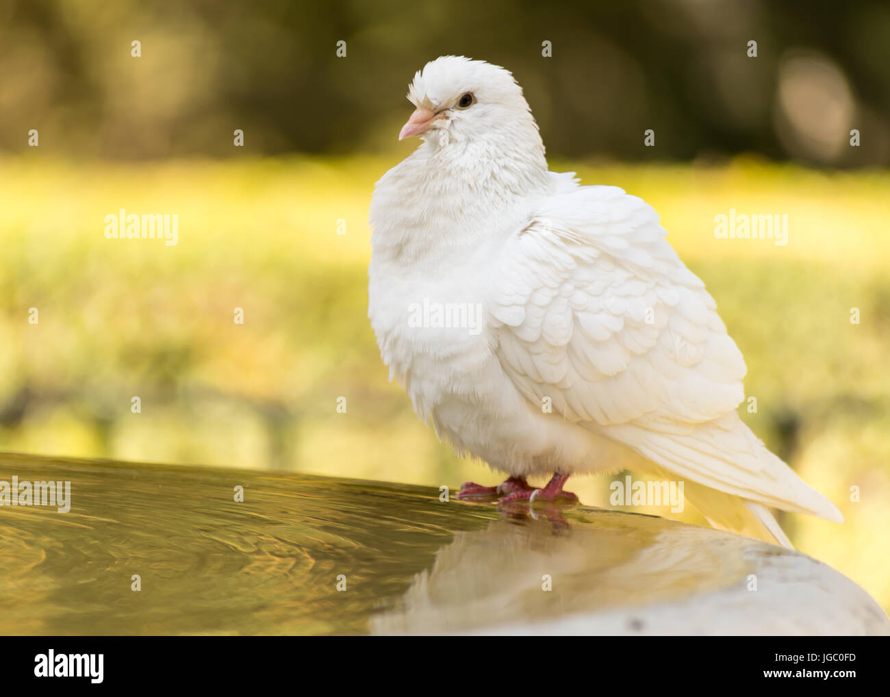 A white dove drinks and bathes at a fountain within the grounds of the Alcazar, Seville, Andalucia, Spain. Stock Photo