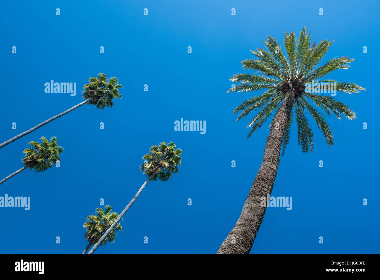 Palm trees isolated against a deep blue sky within the grounds of the Alcazar, Seville, Andalucia, Spain. Stock Photo