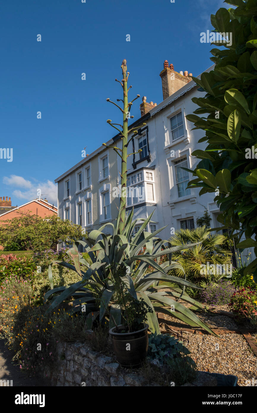An enormous cactus growing in the front garden of a house in Salcombe Road, Sidmouth - Stock Image