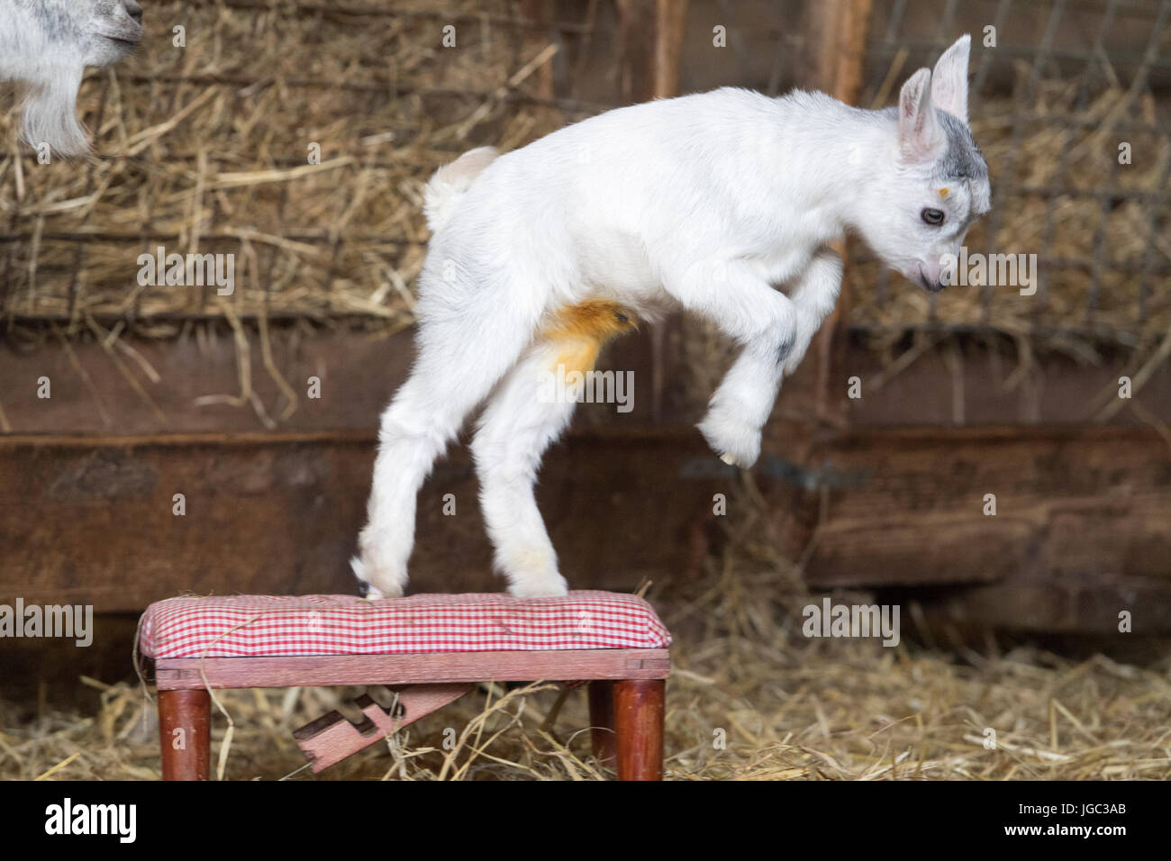 Nanny and kid pygmy goat in pen. - Stock Image