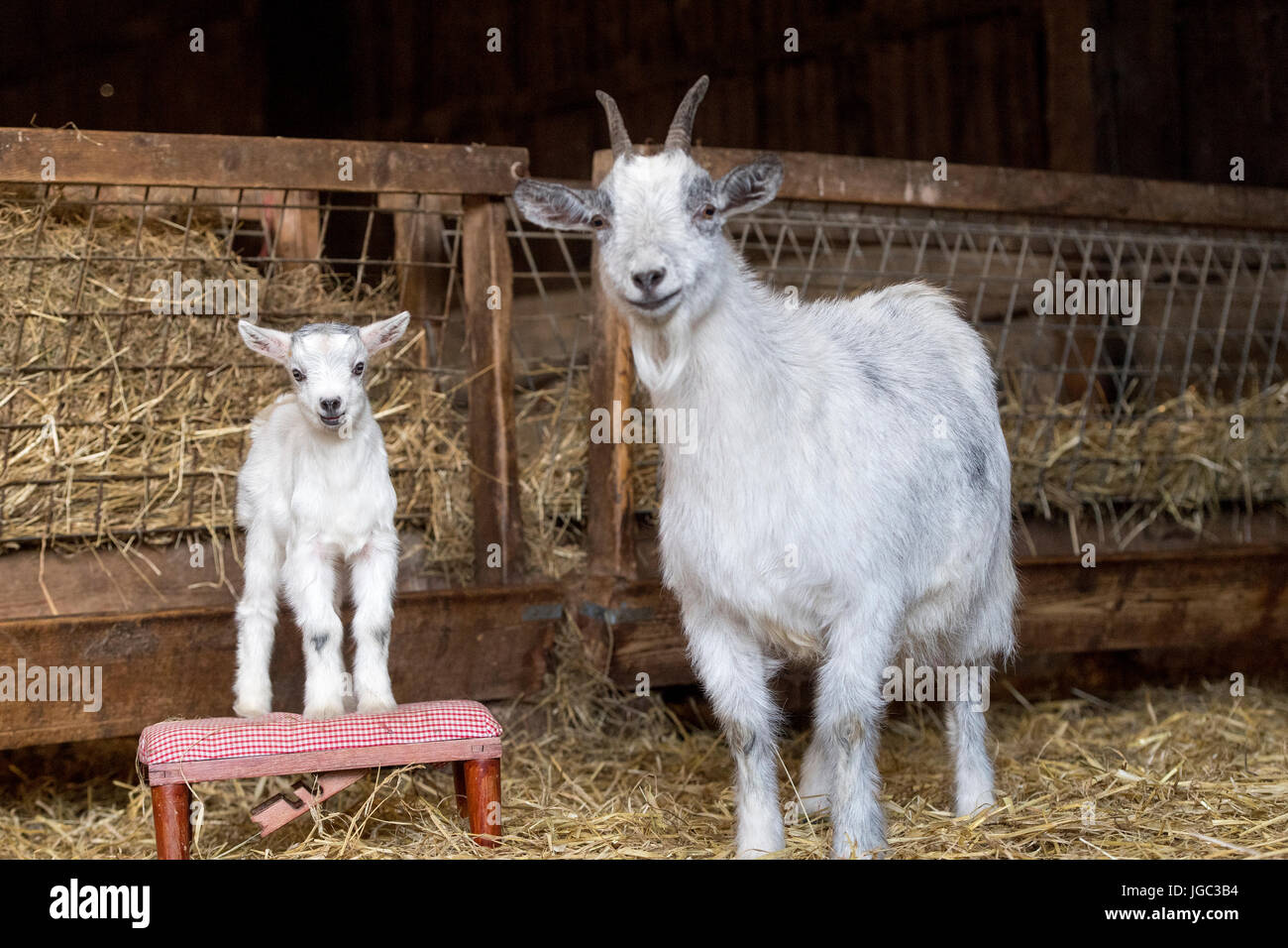 Nanny And Kid Pygmy Goat In Pen