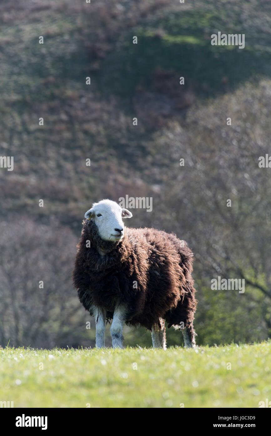 Herdwick sheep stood in pasture, Cumbria, UK. - Stock Image