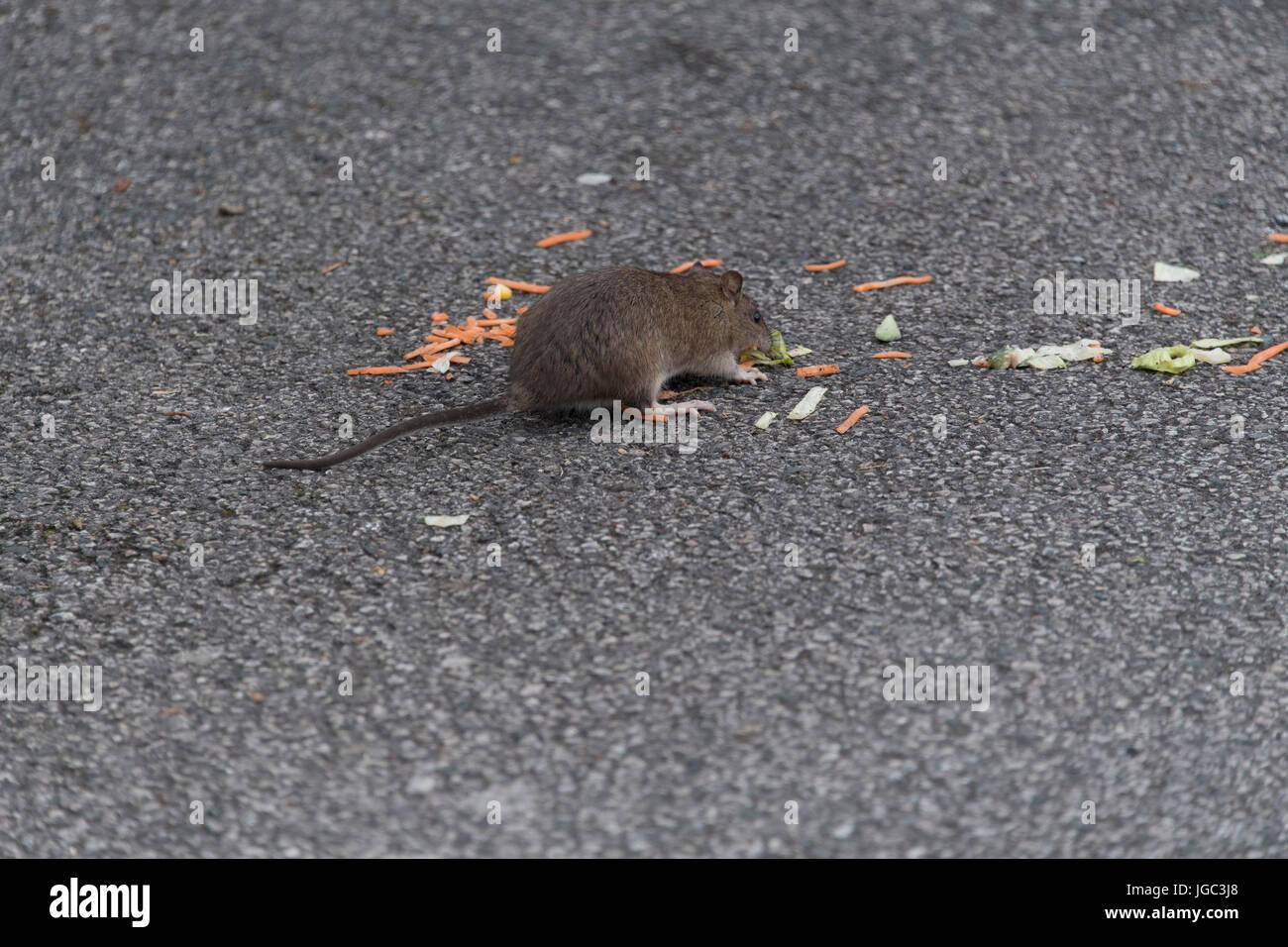 Brown Rat, Rattus norvegicus, eating scraps of food left in a fast food restaurant car park. Penrith, Cumbria. - Stock Image