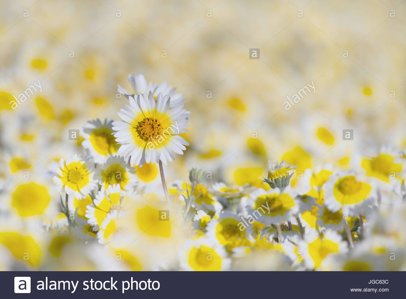 Tidy Tips blooming in Carrizo Plain National Monument, CA - Stock Image
