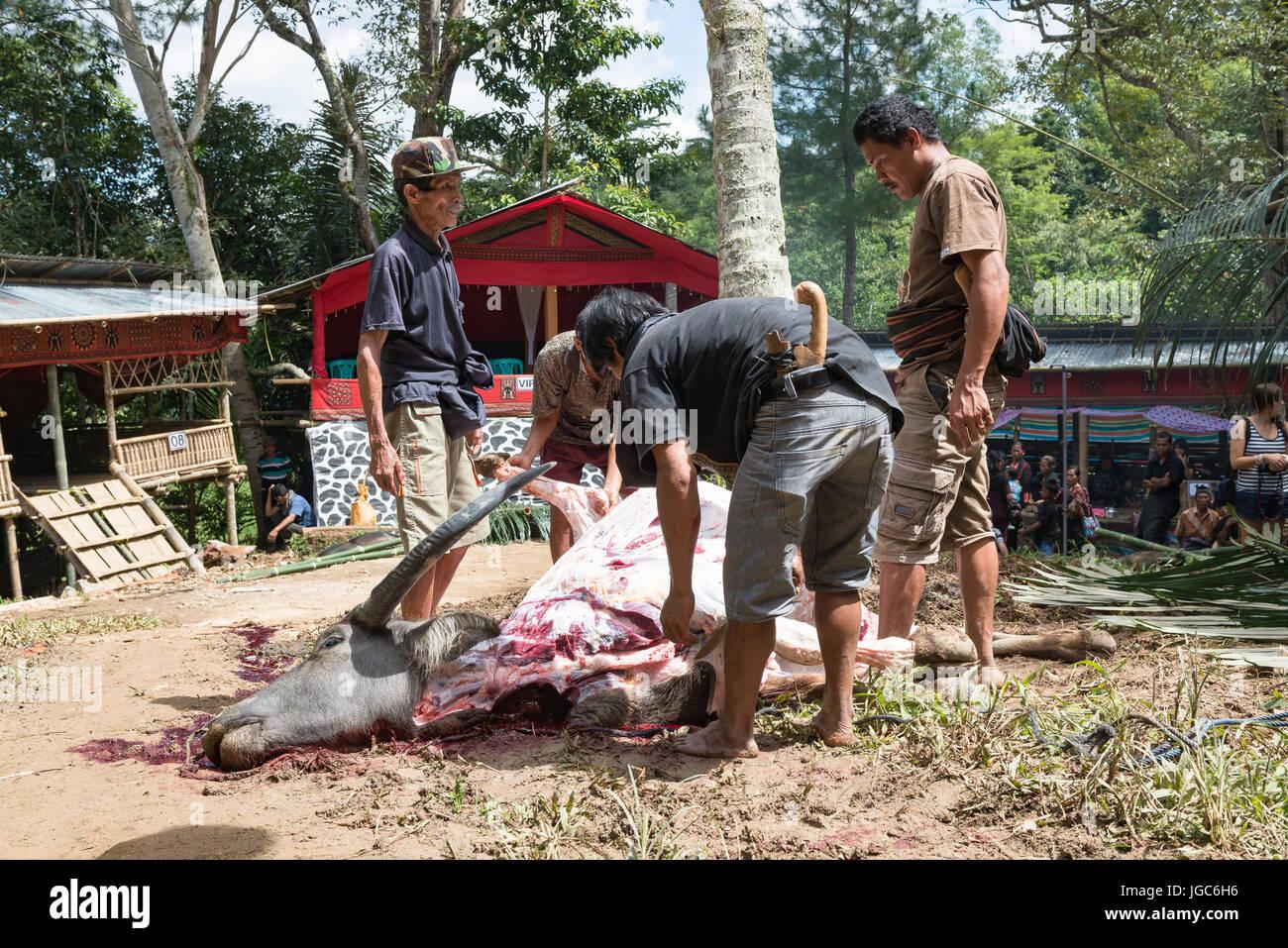 Water buffalo sacrificed for the funeral celebration of an old man, Tana Toraja, Sulawesi, Indonesia - Stock Image