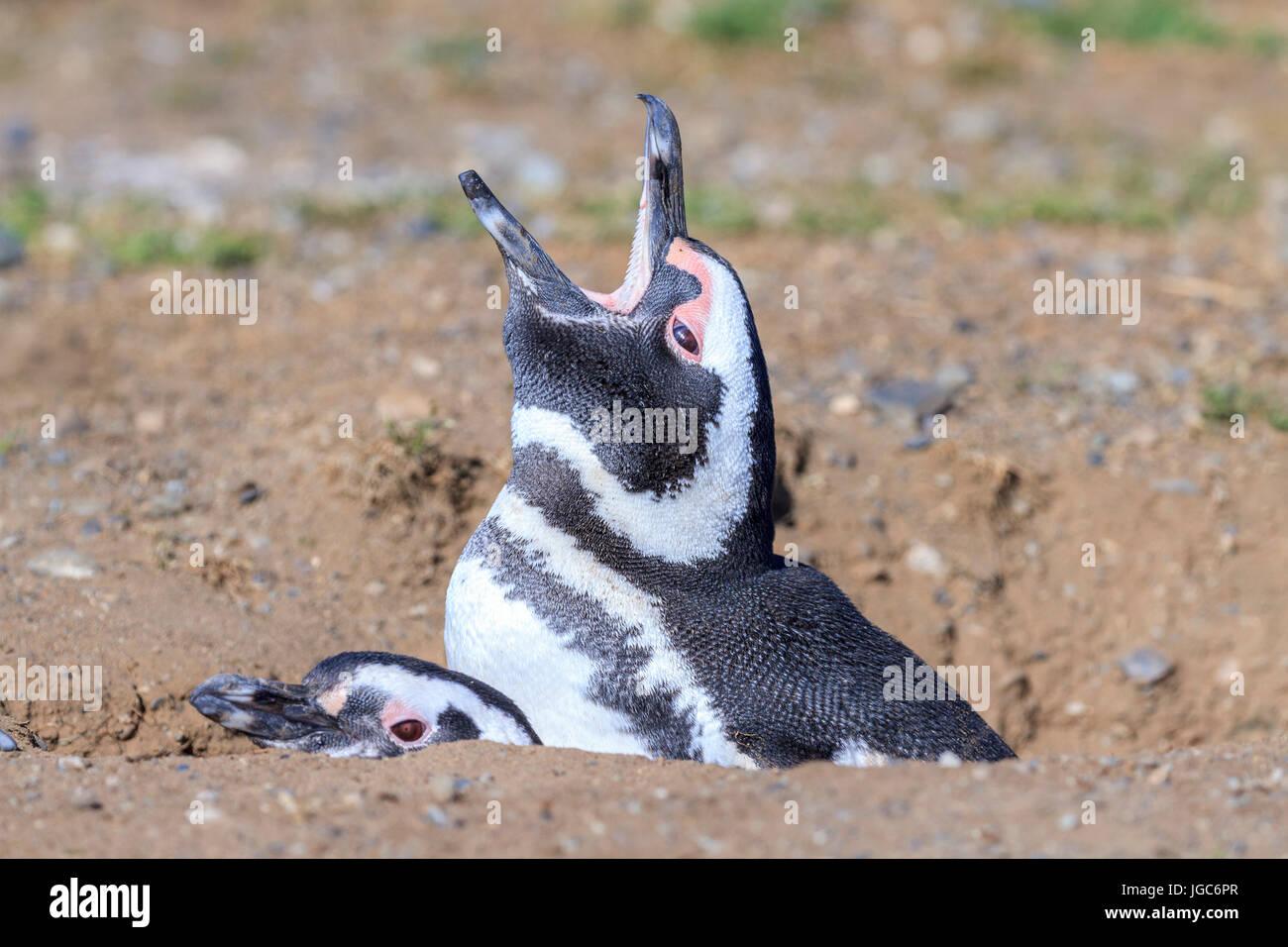 Monumento Natural Los Pinguinos, Isla Magdalena, Punta Arenas, Chile Stock Photo