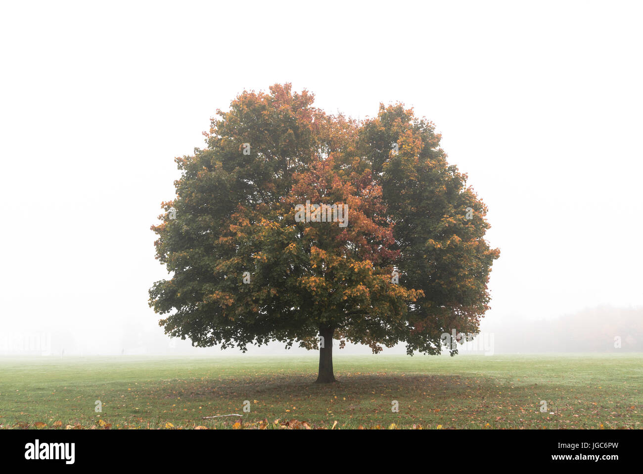 Single tree standing alone on a common in early morning mist in England Stock Photo