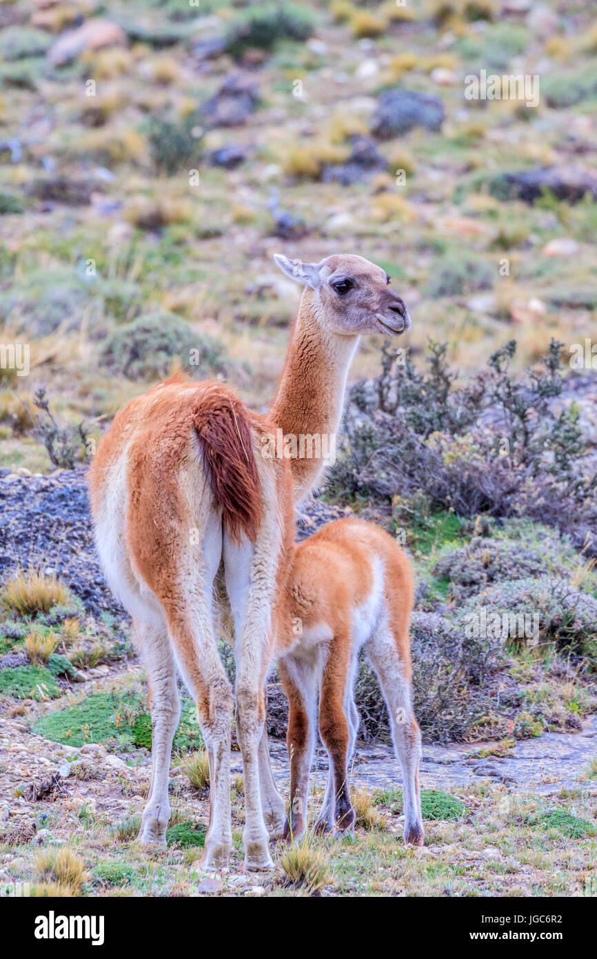 Guanakos (Lama guanicoe), Torres del Paine National Park, Patagonia, Chile - Stock Image