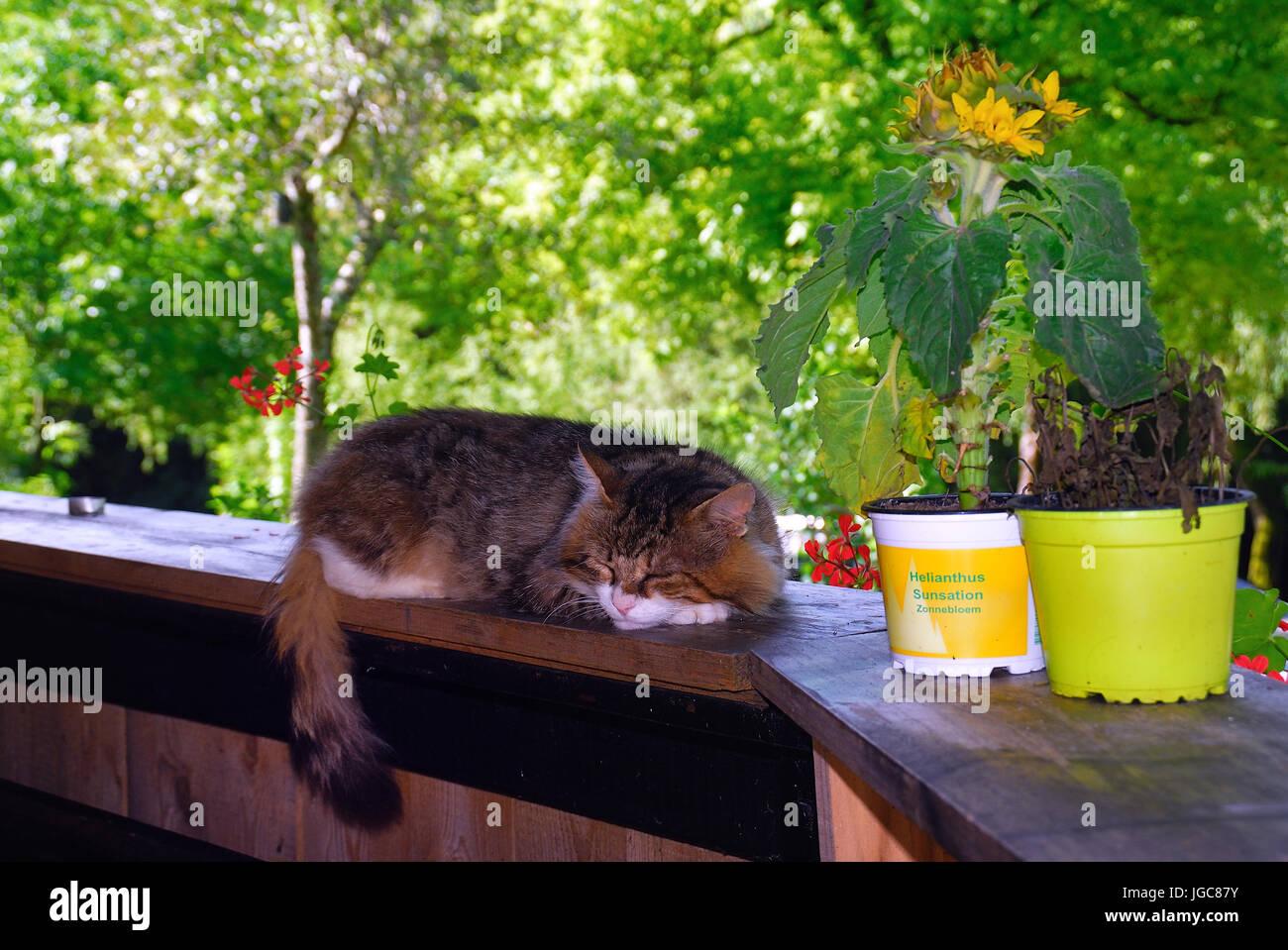 Slovenia, Soca valley, Volarje village. A cat sleeps on the windowsill of reception of Camp Vili camping. - Stock Image