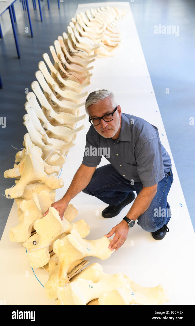 Giessen, Germany. 5th July, 2017. Professor Stefan Arnhold sits next to the skeleton of a young sperm whale bull - Stock Image