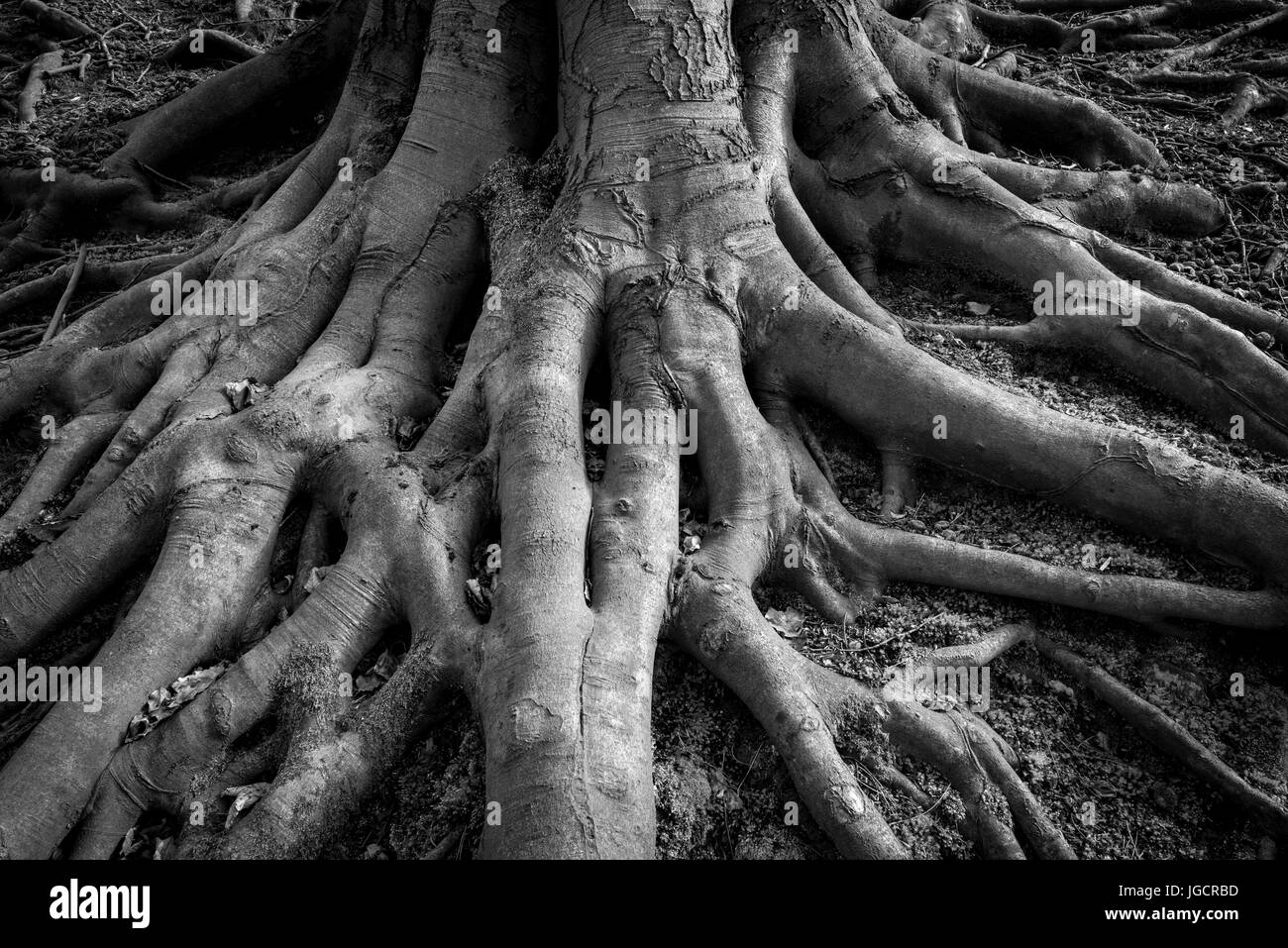 Black and white image of creepy, spooky tree roots. An old Beech tree with exposed roots at the base of the trunk. - Stock Image