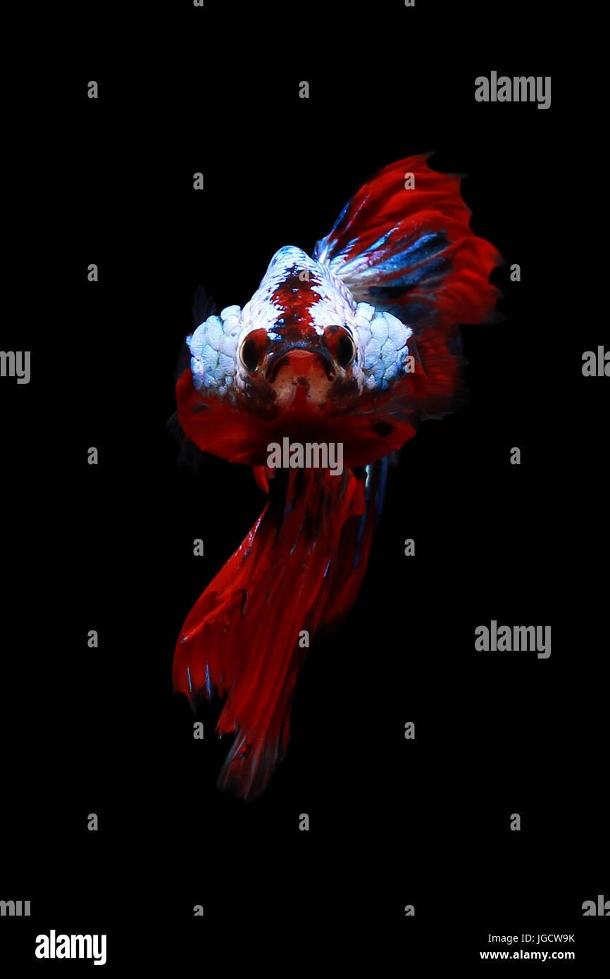 Multi-colored betta fish Stock Photo: 147800735 - Alamy