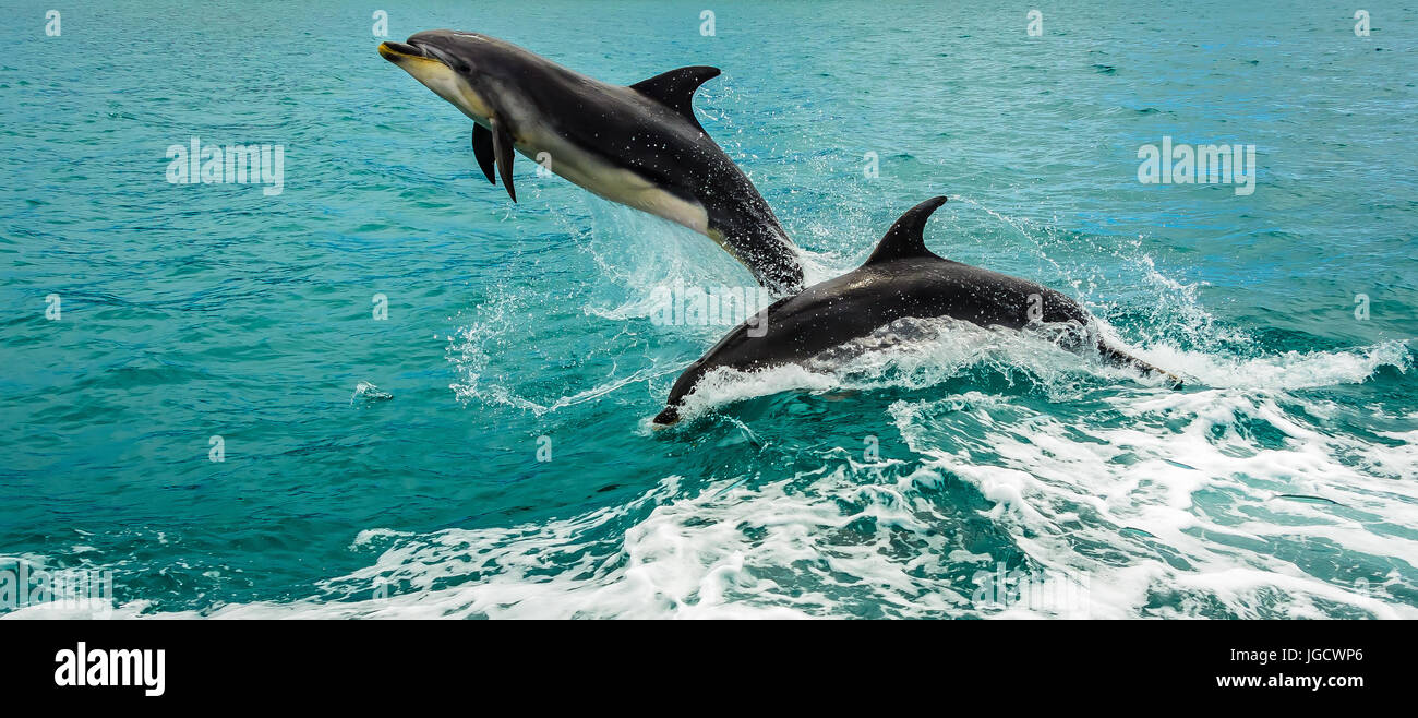 Two dolphins jumping out of the ocean, Bay of Islands, North Island, New Zealand Stock Photo