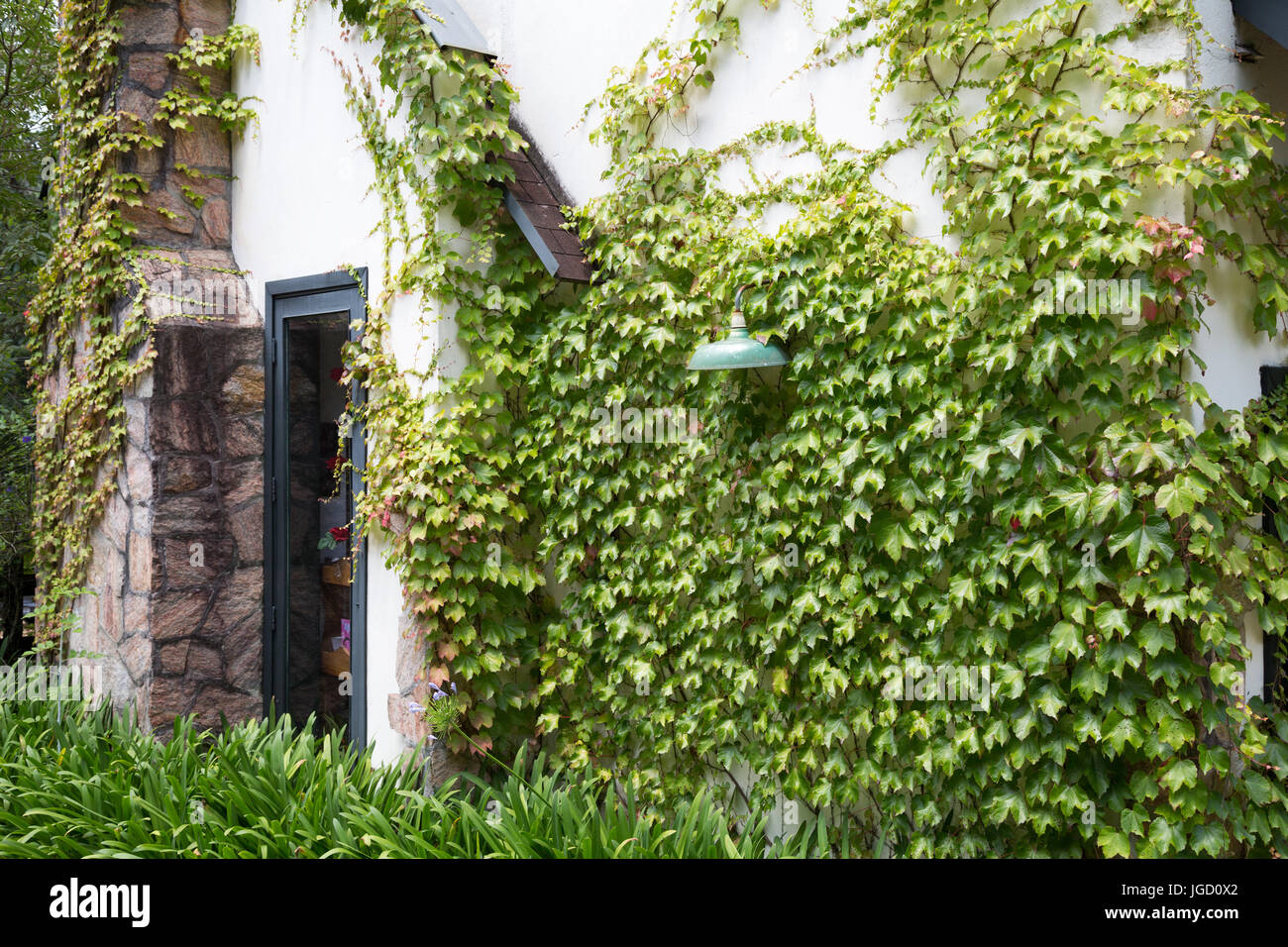 Country House With Ivy Climbing Plants On White Wall Stock