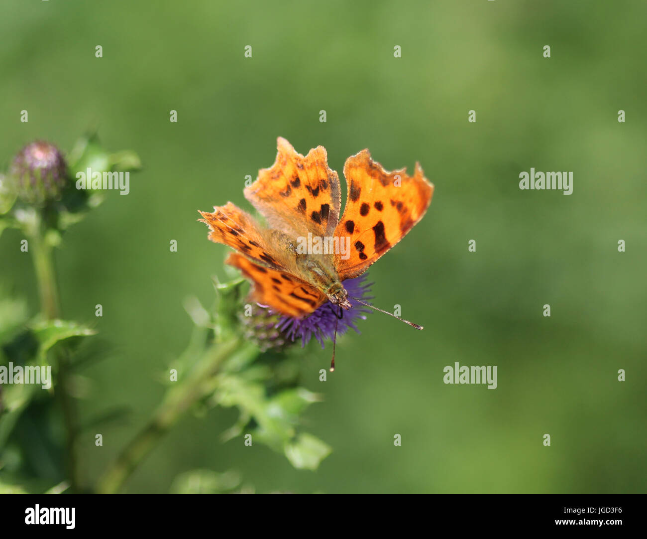Comma butterfly - Stock Image