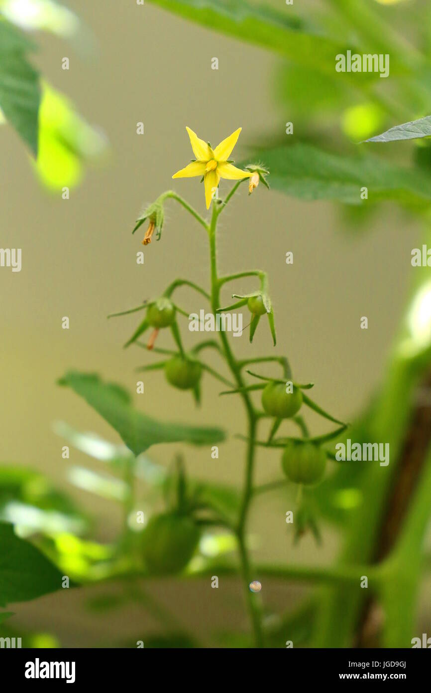 Tomato plant flower stock photos tomato plant flower stock images tomato plant from the yellow flower to the green fruit stock image mightylinksfo
