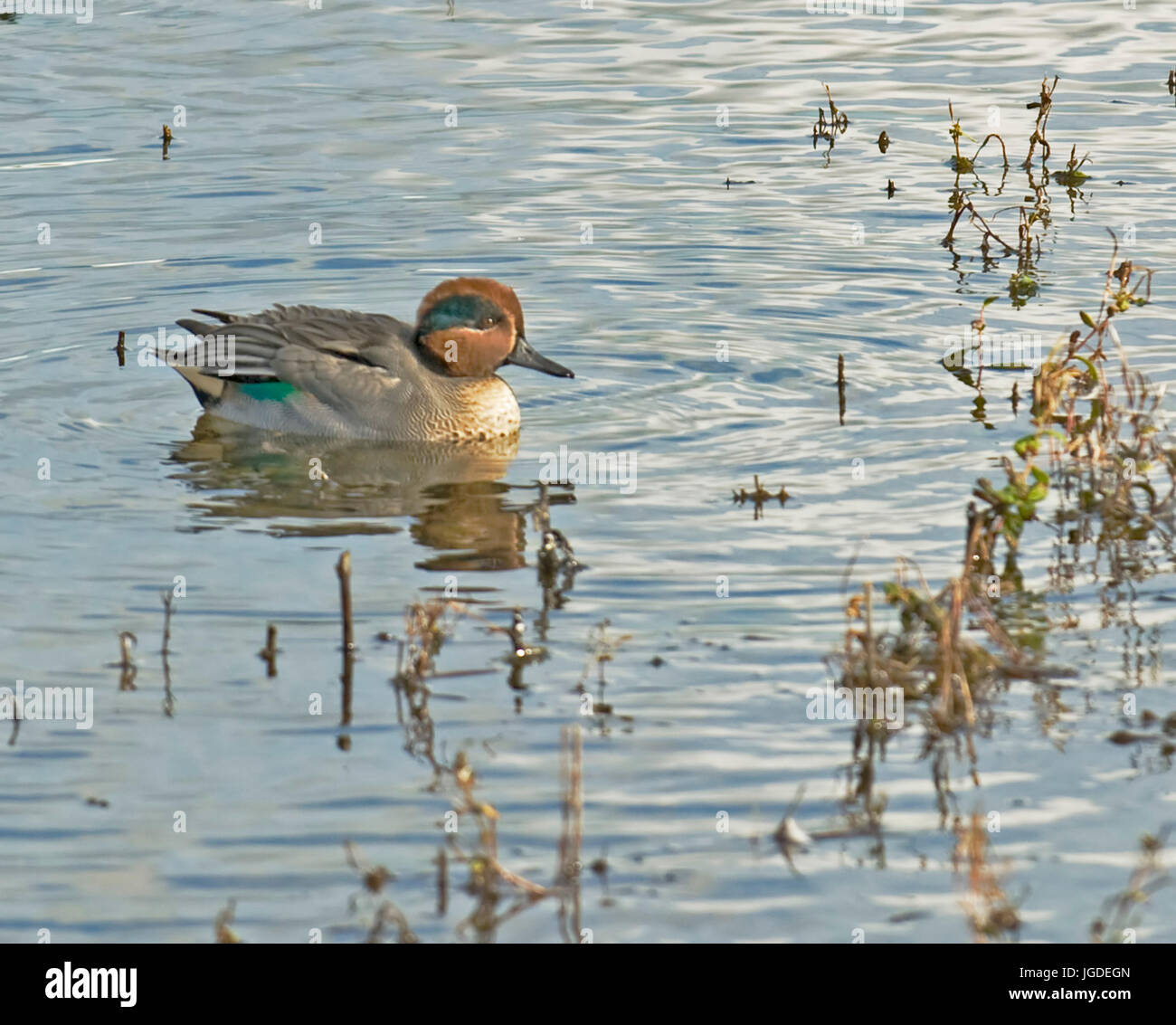 Teal, Marshside,+ Southport Stock Photo