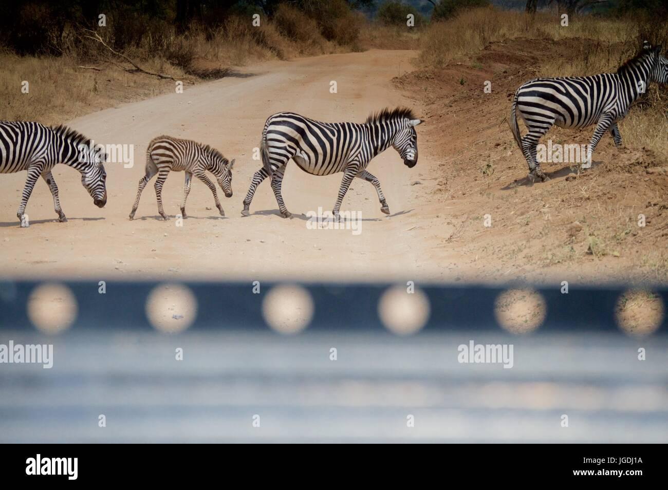 Zebras crossing behind a safari truck, Tanzania - Stock Image