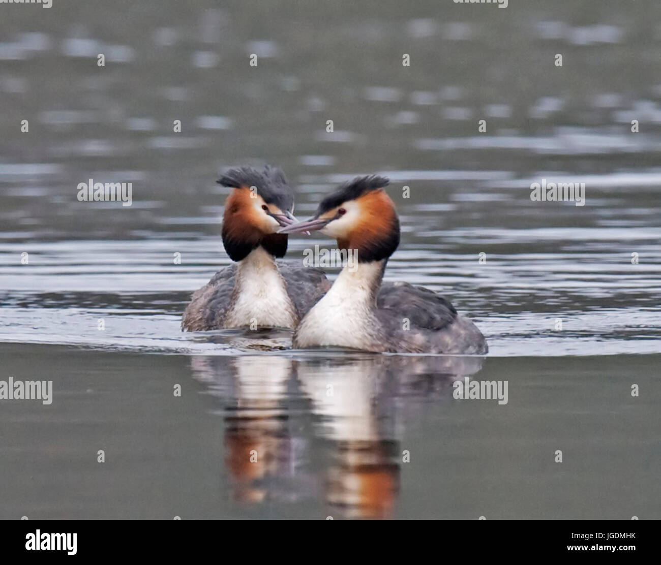 Great Crested Grebes, Podiceps cristatus - Stock Image