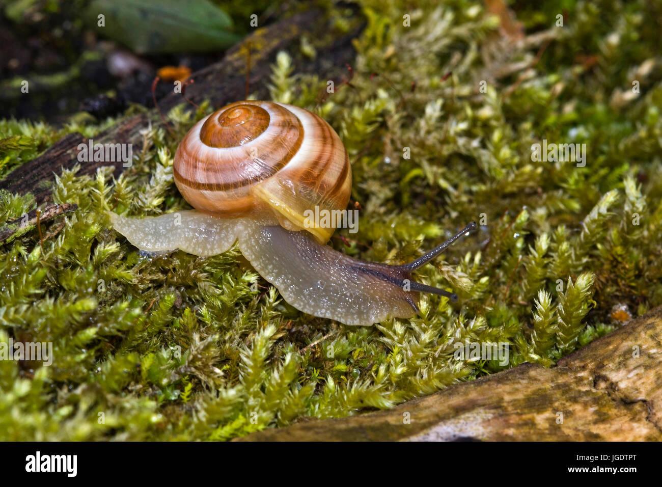Garden Tape Snail Cepaea Hortensis Garten Bänderschnecke Cepaea