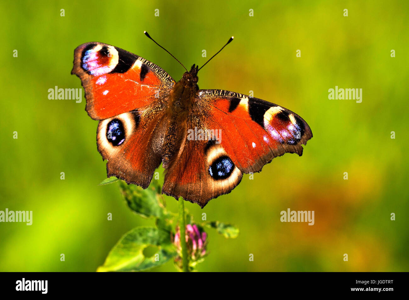 Day peacock butterfly, Inachis io, Tagpfauenauge (Inachis io) - Stock Image