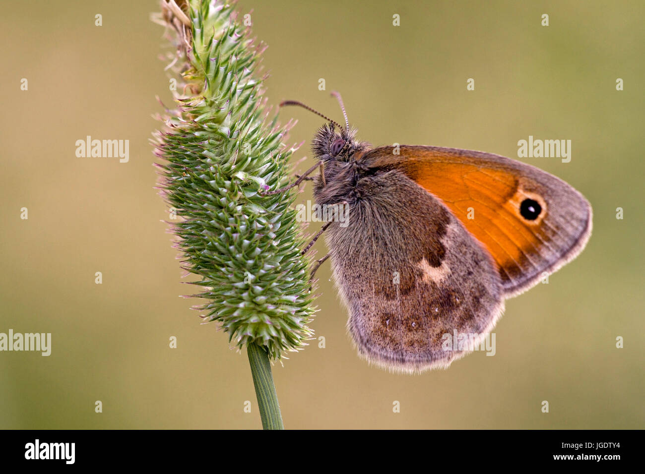 Small little meadow birds, Coenonympha pamphilus, Kleines Wiesenvögelchen (Coenonympha pamphilus) - Stock Image