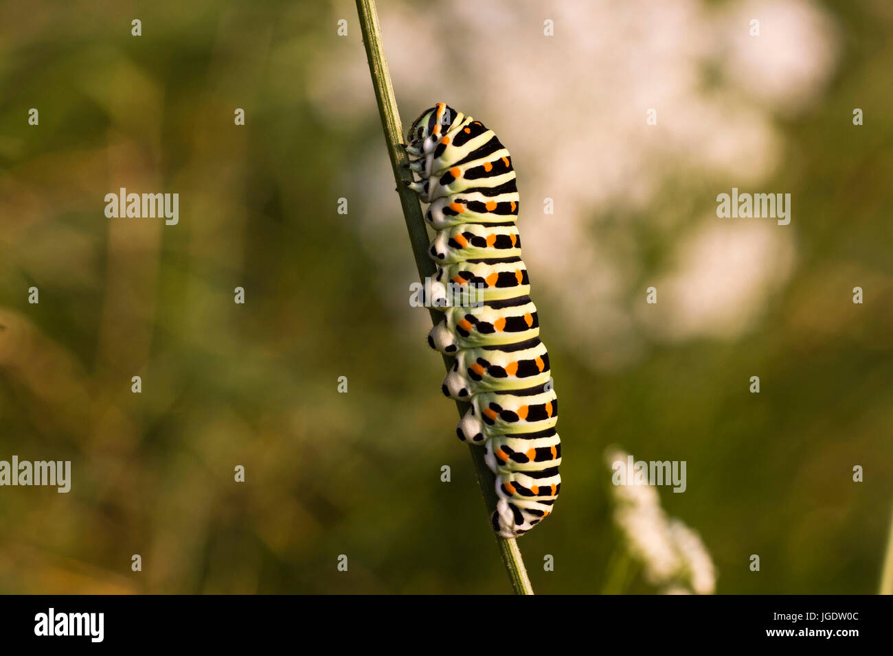 Swallow's tail, Papilio machaon caterpillar, Schwalbenschwanz (Papilio machaon) Raupe - Stock Image