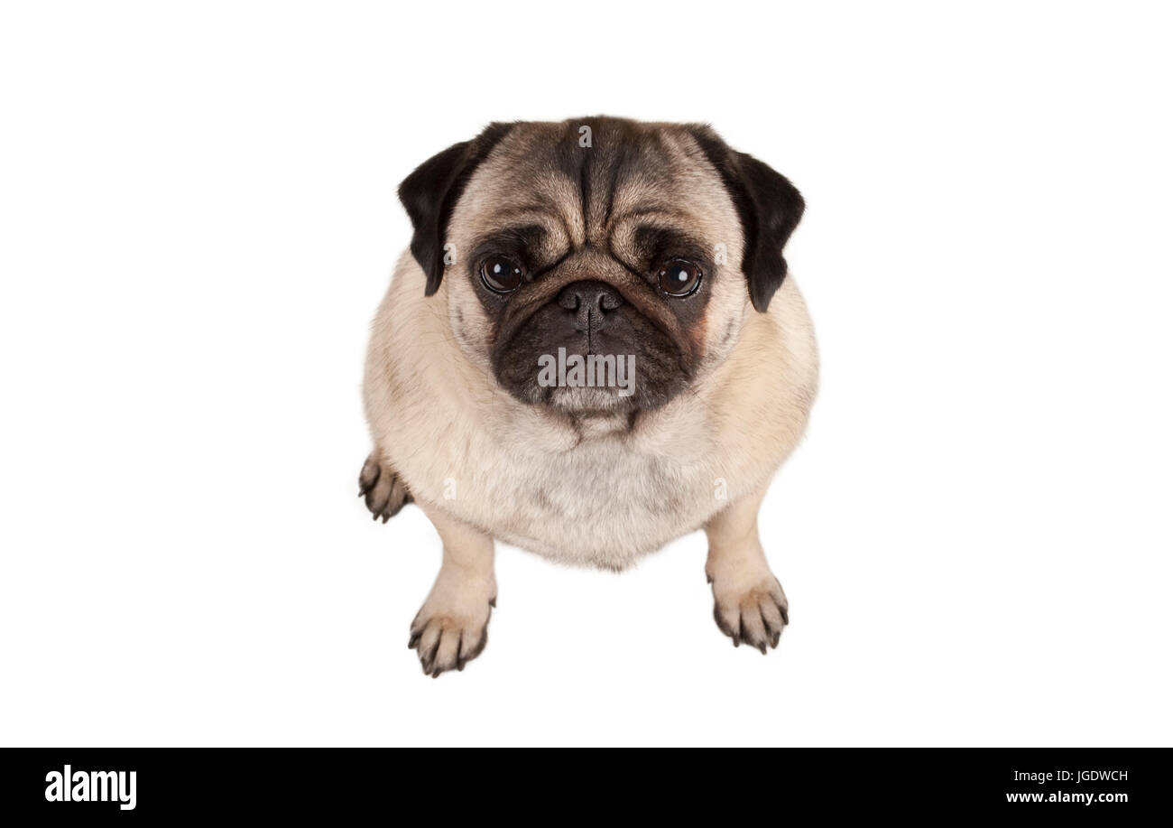 top view, cute grumpy pug puppy dog seen from above, isolated on white background - Stock Image