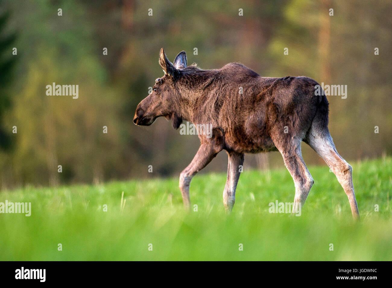 Elk, Alces alces, Elch (Alces alces) - Stock Image