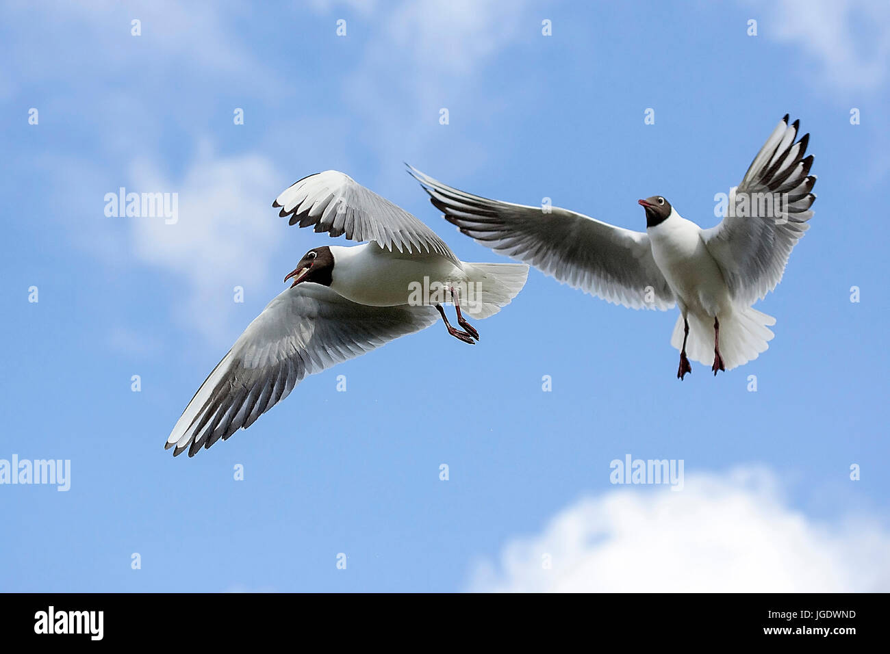 Black-headed gull, Larus ridibundus, Lachmoewe (Larus ridibundus) - Stock Image