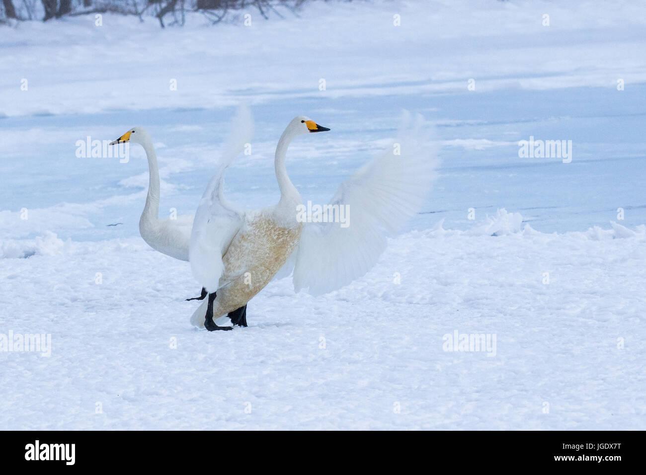 Song swans, Cygnus cygnus, Singschwäne (Cygnus cygnus) Stock Photo